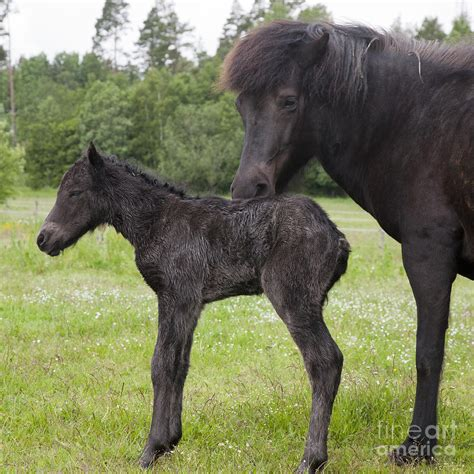 foal horse newborn icelandic kathleen smith born photograph july 9th uploaded which