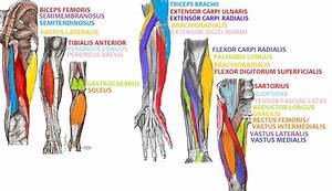 File Arm And Leg Muscle Diagrams Png