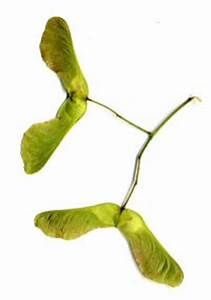 Ahorn Frucht Name : spitz ahorn details baumbestimmung laubh lzer bestimmen acer platanoides ~ Frokenaadalensverden.com Haus und Dekorationen