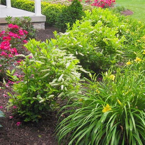 low maintenance shrubs landscape boxwood shrub ideas landscape free engine image for user manual download