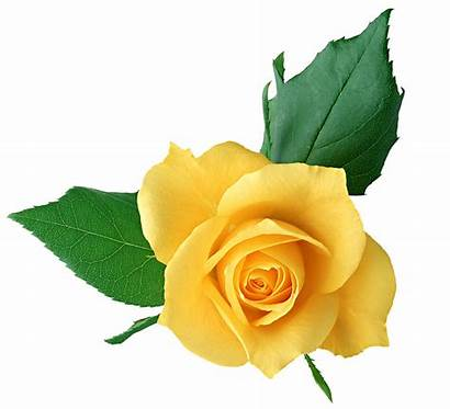 Yellow Rose Transparent Clipart Roses Previous