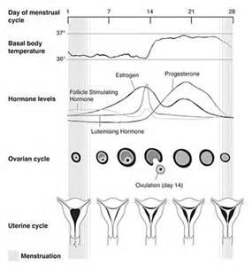 irregular shedding of the uterine lining 100 shedding of the endometrial lining occurs
