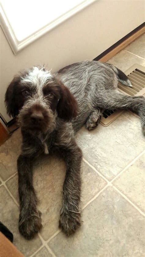 griffon german wirehaired pointer shedding german wirehaired pointer griffon breeds picture