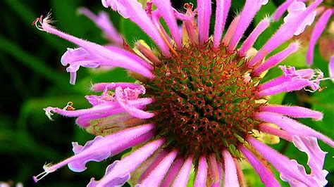 iowa native wildflowers images  pinterest