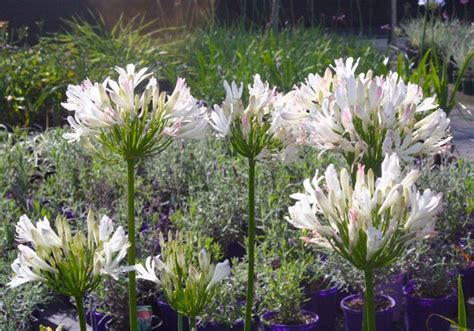white agapanthus varieties pink agapanthus agapanthus albus rosea the so called pink agapanthus aggies pinterest