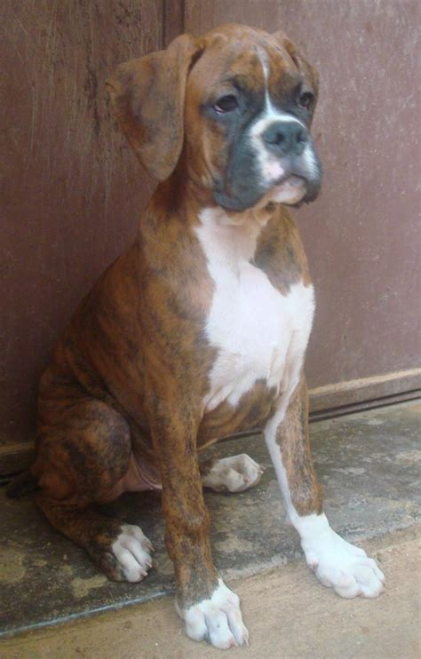 boxer puppies  saleanand  dogs  sale