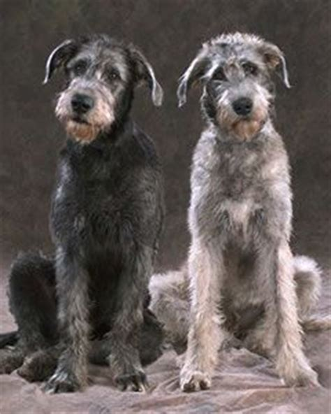 Wolfhound Mix Puppies Goldenacresdogs Com