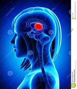 Brain Anatomy MIDBRAIN - Cross Section Stock Illustration ...