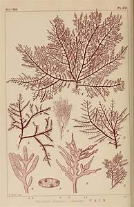 Gelidium amansii - Wikipedia