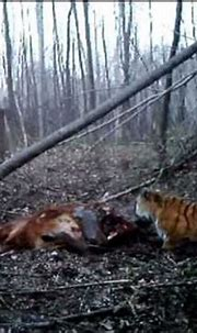 RAW: wild Siberian tiger eating ox caught by camera - YouTube