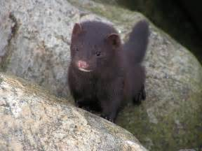 fisher cats fisher cats homesteading forum