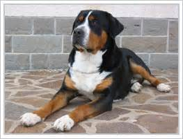 Greater Swiss Mountain Dog Breed