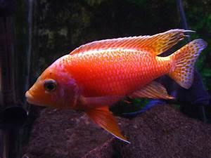 cichlids.com: Peacock