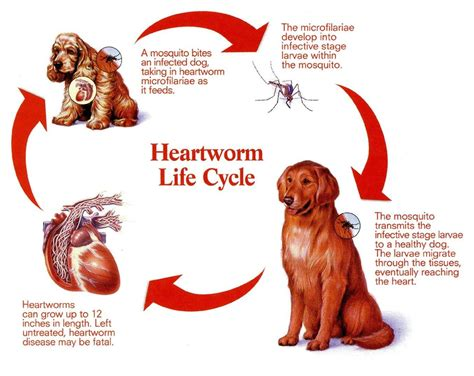 heartworm treatment heartworm disease in dogs an explanation diagnosis and treatment pictures of dogs and all