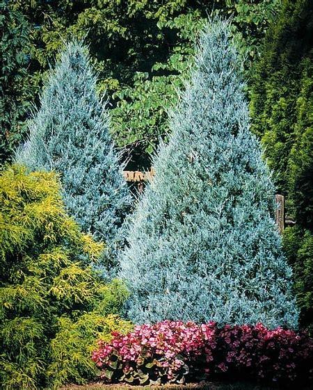 blue juniper wichita blue juniper tree the tree center