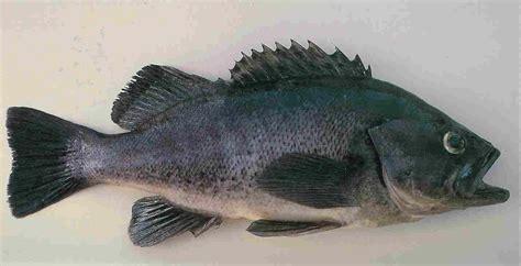 bass sea florida fish grouper seabass bottom