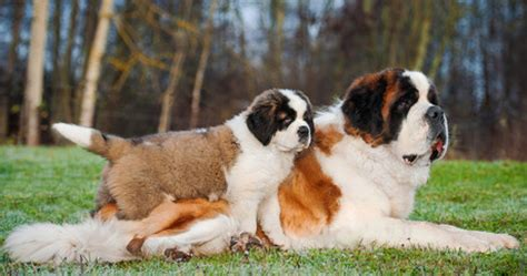 do st bernards shed all year top 10 breeds with the shortest lifespan dogtime