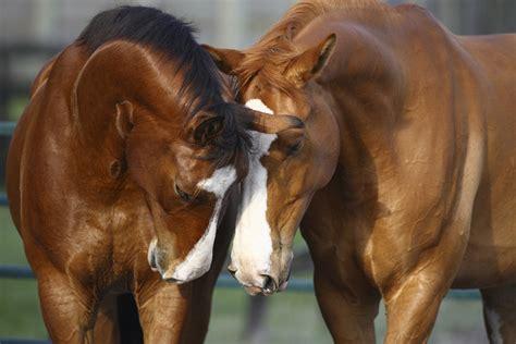 horses horse canvas photowall wall