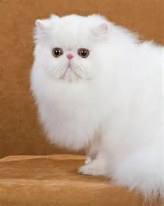 white cat breeds alf img showing gt solid white cat breeds