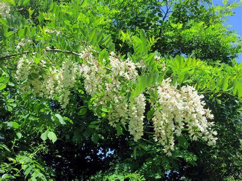 locust tree the foraged foodie foraging identifying harvesting black locust