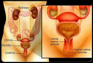 Diagram Of The Uterus  Bladder And Urethra Making Up The