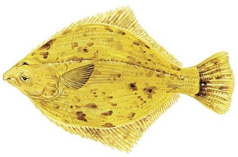 Flounder (all Species)  Marine And Estuarine Scale Fish