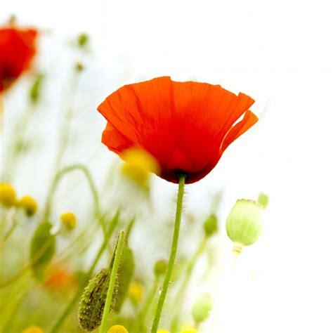 红罂粟花唯美摄影