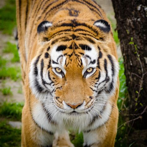Tiger Photo by Bengal Tiger On Green Grass 183 Free Stock Photo