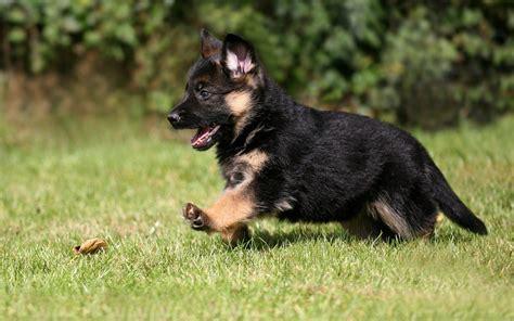 Animals, Dog, Puppies, German Shepherd Wallpapers Hd