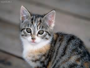 tabby cat animals tabby kitten picture nr 14597