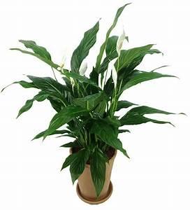 Plante D Intérieur Pas Cher : spathiphyllum fleur de lune entretien arrosage rempotage ~ Dailycaller-alerts.com Idées de Décoration