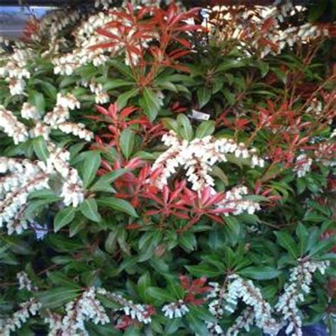 OnlinePlantCenter 2 gal. Mountain Fire Andromeda Shrub