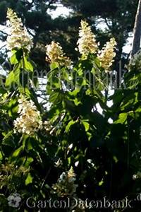 Hydrangea Paniculata Schneiden : rispenhortensie hydrangea paniculata schneiden pflege ~ Lizthompson.info Haus und Dekorationen