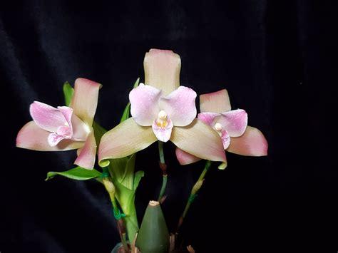 Lycaste Leilani's Pink Dust | Orchids Forum