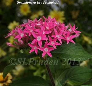Red Pentas StarCluster - Pics about space