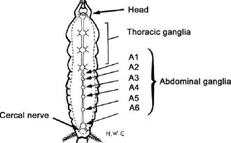 Schematic Ventral View Of Cockroach Nerve Cord.