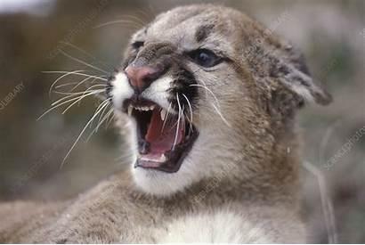 Lion Mountain Female Juvenile Snarling Sciencephoto