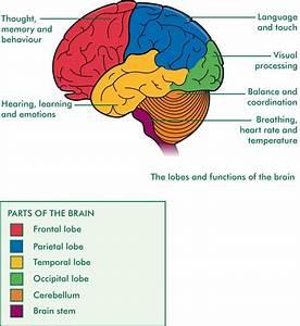 Labeled Nervous System Diagram