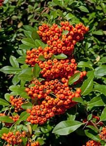 Kirschlorbeer Ohne Beeren : feuerdorn pflanzen pflege und schneiden ~ Yasmunasinghe.com Haus und Dekorationen