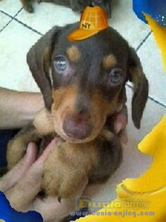 dunia anjing jual anjing dachshund jual tekel mini