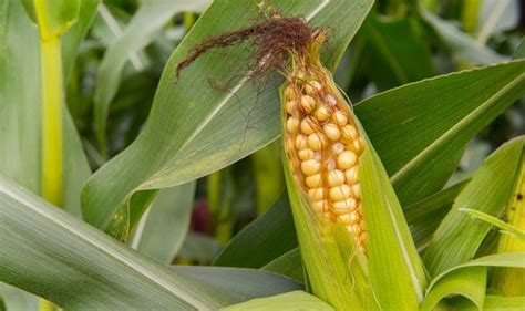 Maize yield influenced by unexpected gene 'moonlighting ...