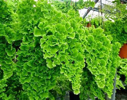 tanaman hias daun outdoor indoor cantik menarik