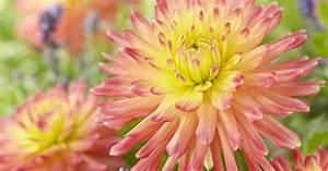 Magnolien Vermehren Durch Stecklinge : dahlien durch stecklinge vermehren mein sch ner garten ~ Lizthompson.info Haus und Dekorationen
