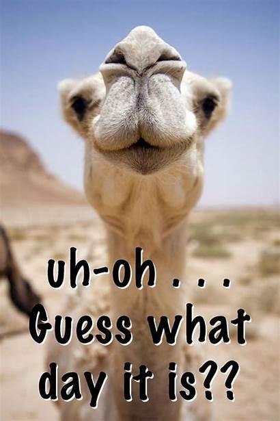 Hump Happy Quotes Animals Funny Camel Animal