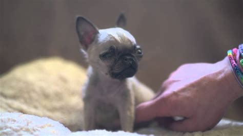 World's Smallest Pug?! Check Out How TINY She Is... - PawBuzz
