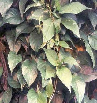 manfaat sembukan  daun kentut ampuh mengobati maag