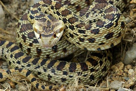 Gopher Snake (pituophis Catenifer