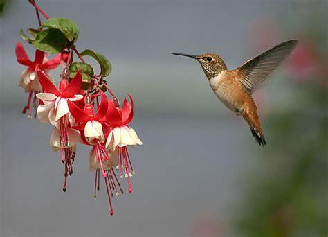 humming birds wallpapers entertainment