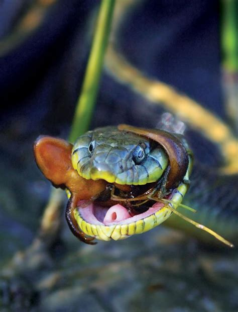 One snake's prey is another's poison: Scientists pinpoint ...