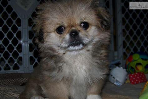 meet sleeve tinsey  cute pekingese puppy  sale